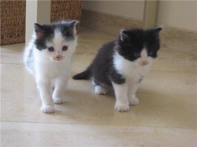 Zoe chaton blanc avec des tache noir mimie chaton noir - Tache de javel sur du noir ...